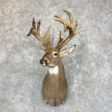 Whitetail Deer Shoulder Mount #23802 For Sale - The Taxidermy Store