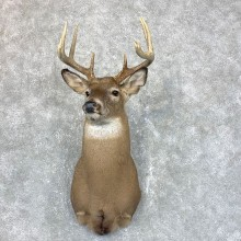 Whitetail Deer Shoulder Mount #23808 For Sale - The Taxidermy Store