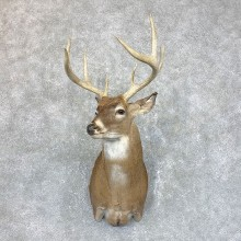 Whitetail Deer Shoulder Mount #23811 For Sale - The Taxidermy Store