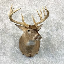 Whitetail Deer Shoulder Mount #23812 For Sale - The Taxidermy Store