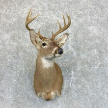 Whitetail Deer Shoulder Mount #23821 For Sale - The Taxidermy Store