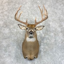 Whitetail Deer Shoulder Mount #23827 For Sale - The Taxidermy Store