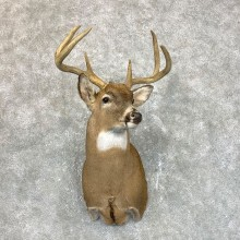Whitetail Deer Shoulder Mount #23849 For Sale - The Taxidermy Store