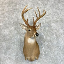 Whitetail Deer Shoulder Mount #23857 For Sale - The Taxidermy Store