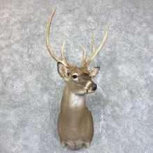 Whitetail Deer Shoulder Mount #23862 For Sale - The Taxidermy Store