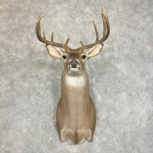 Whitetail Deer Shoulder Mount #24214 For Sale - The Taxidermy Store