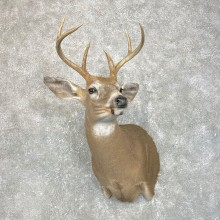 Whitetail Deer Shoulder Mount #24218 For Sale - The Taxidermy Store