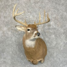 Whitetail Deer Shoulder Mount #24250 For Sale - The Taxidermy Store