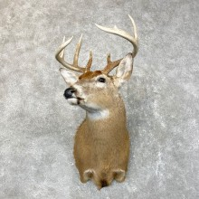 Whitetail Deer Shoulder Mount #24518 For Sale - The Taxidermy Store