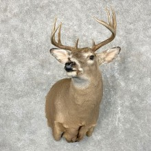 Whitetail Deer Shoulder Mount #24560 For Sale - The Taxidermy Store