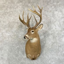 Whitetail Deer Shoulder Mount #24596 For Sale - The Taxidermy Store