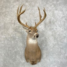 Whitetail Deer Shoulder Mount #24602 For Sale - The Taxidermy Store