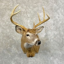 Whitetail Deer Shoulder Mount #24605 For Sale - The Taxidermy Store
