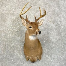 Whitetail Deer Shoulder Mount #24617 For Sale - The Taxidermy Store