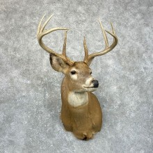 Whitetail Deer Shoulder Mount #24668 For Sale - The Taxidermy Store