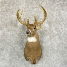 Whitetail Deer Shoulder Mount #24942 For Sale - The Taxidermy Store