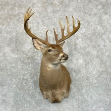 Whitetail Deer Shoulder Mount #24957 For Sale - The Taxidermy Store