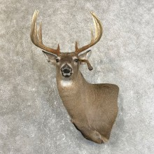 Whitetail Deer Shoulder Mount #25124 For Sale - The Taxidermy Store