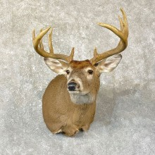 Whitetail Deer Shoulder Mount #25137 For Sale - The Taxidermy Store