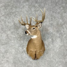 Whitetail Deer Shoulder Mount #25396 For Sale - The Taxidermy Store