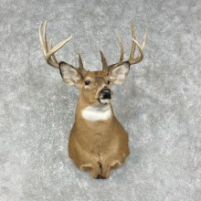 Whitetail Deer Shoulder Mount #25397 For Sale - The Taxidermy Store