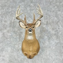 Whitetail Deer Shoulder Mount #25399 For Sale - The Taxidermy Store