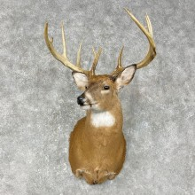 Whitetail Deer Shoulder Mount #25402 For Sale - The Taxidermy Store