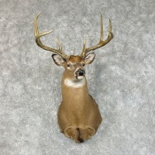 Whitetail Deer Shoulder Mount #25419 For Sale - The Taxidermy Store