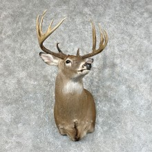 Whitetail Deer Shoulder Mount #25420 For Sale - The Taxidermy Store