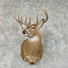 Whitetail Deer Shoulder Mount #25425 For Sale - The Taxidermy Store