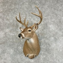 Whitetail Deer Shoulder Mount #25430 For Sale - The Taxidermy Store