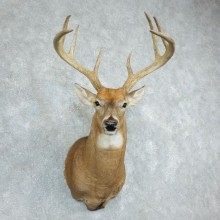 Whitetail Deer Shoulder Mount For Sale #18504 @ The Taxidermy Store