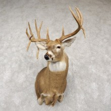 Whitetail Deer Shoulder Taxidermy Mount For Sale #18766 @ The Taxidermy Store