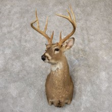 Whitetail Deer Shoulder Mount For Sale #18827 @ The Taxidermy Store