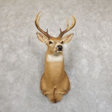 Whitetail Deer Shoulder Mount For Sale #19551 @ The Taxidermy Store