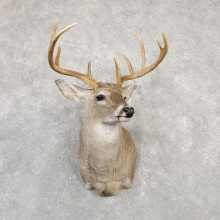 Whitetail Deer Shoulder Mount For Sale #20003 @ The Taxidermy Store