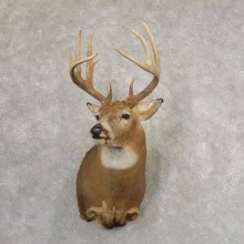 Whitetail Deer Shoulder Mount For Sale #21316 @ The Taxidermy Store