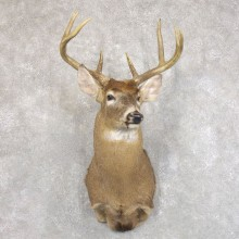 Whitetail Deer Shoulder Mount For Sale #22234 @ The Taxidermy Store