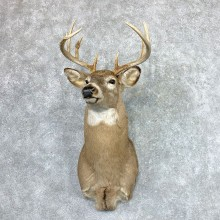 Whitetail Deer Shoulder Mount For Sale #22870 @ The Taxidermy Store