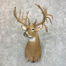 Whitetail Deer Shoulder Mount For Sale #23943 @ The Taxidermy Store