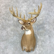 Whitetail Deer Shoulder Mount For Sale #23982 @ The Taxidermy Store