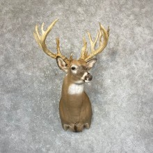 Whitetail Deer Shoulder Mount For Sale #24371 @ The Taxidermy Store