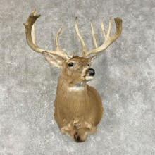 Whitetail Deer Shoulder Mount #25496 For Sale - The Taxidermy Store