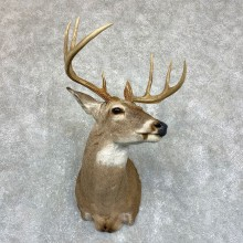 Whitetail Deer Shoulder Taxidermy Mount #21743 For Sale - The Taxidermy Store