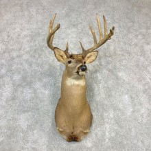Whitetail Deer Shoulder Taxidermy Mount #21987 For Sale - The Taxidermy Store