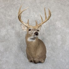 Whitetail Deer Shoulder Taxidermy Mount For Sale #19547@ The Taxidermy Store.jpg