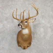Whitetail Deer Shoulder Taxidermy Mount For Sale #20011 @ The Taxidermy Store.jpg