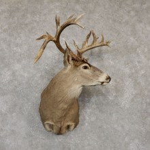 Whitetail Deer Shoulder Taxidermy Mount For Sale #20182 @ The Taxidermy Store.jpg