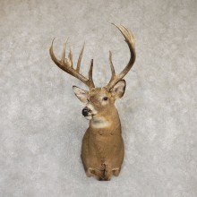 Whitetail Deer Shoulder Taxidermy Mount For Sale #20184 @ The Taxidermy Store.jpg