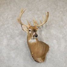 Whitetail Deer Shoulder Taxidermy Mount For Sale #20185 @ The Taxidermy Store.jpg